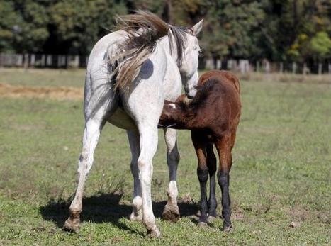 Argentine lab peddles prized export: thoroughbred polo horse embryos - Reuters UK | Equine Reproduction | Scoop.it