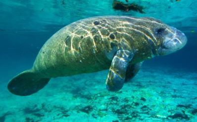 Manatees Are Dying With Suspicious Seaweed in Their Mouths   All about water, the oceans, environmental issues   Scoop.it
