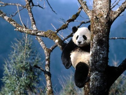 10 Most Beautiful Pictures of Panda | All about nature | Scoop.it