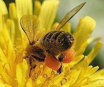 Pourquoi les abeilles sont-elles essentielles à l'équilibre écologique ? | Esprit libre | Scoop.it