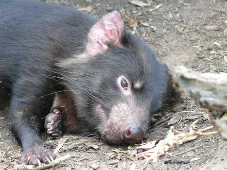 Tasmanian Devils fight hardest battle yet | Nature | The Earth Times | Virology and Bioinformatics from Virology.ca | Scoop.it