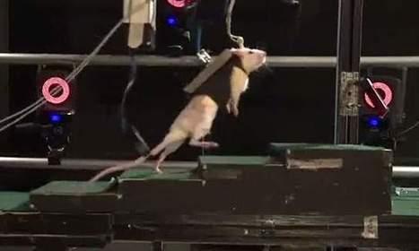 Científicos logran que ratas paralíticas vuelvan a caminar - LaRepública.pe | Ciencia, Tecnología y Economía - Science, Tecnology & Economics | Scoop.it