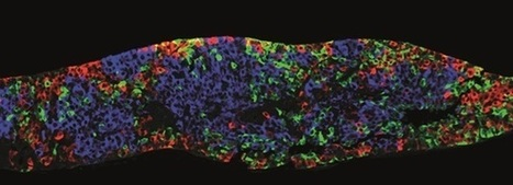 Research that transforms embryonic stem cells into insulin-producing factories ... - The Pharmaceutical Journal | Stem cell news | Scoop.it