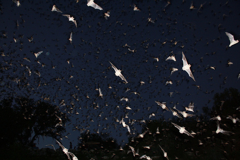 Neurons in Bat Brains Enable Safe Flight - Nature World News | Bat Biology and Ecology | Scoop.it