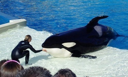 #SeaWorld and Blackfish: Part 5. Good food, free medicare, mental stimulation, and exercise:   #OrcaAvengers   Scoop.it