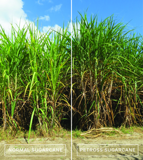 "Grant helps project realize ""ultra-productive"" biofuel crops, attract investors | PETROSS | Bio-Feedstock | Scoop.it"