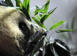 China's endangered pandas face bamboo shortage threat | Climate change challenges | Scoop.it