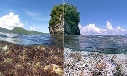 #BiodiversityDisaster!  It's not just divers and nature lovers that should be concerned by record #CoralBleaching | Rescue our Ocean's & it's species from Man's Pollution! | Scoop.it