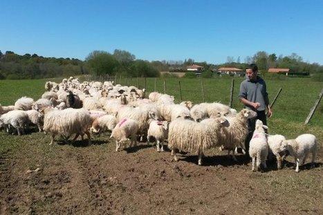 Les petits éleveurs abasourdis face au gâchis de l'abattoir de Mauléon | Des nouvelles de la 3ème révolution industrielle | Scoop.it