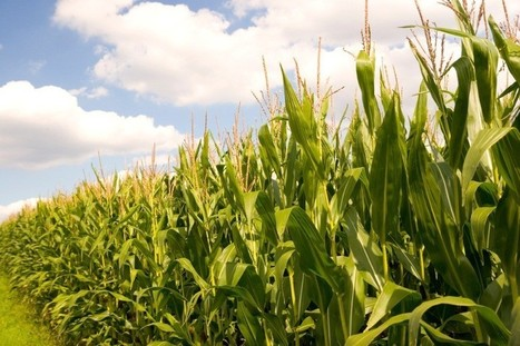 UE : L'interdiction d'un maïs OGM échoue faute de consensus entre les Etats membres | Questions de développement ... | Scoop.it