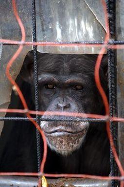El Gobierno prohibirá la investigación con grandes simios   El origen de la vida y el origen del ser humano.   Scoop.it