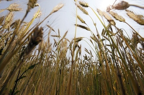 Wheat Study Shows How Climate Change will lead to Low-Quality Food | Food Insecurity | Scoop.it
