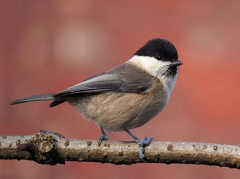 Just what is causing the decline of UK Willow Tits? - Conservation Articles & Blogs - CJ   Wildlife and Conservation   Scoop.it