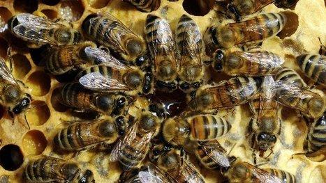 Un test de l'INRA mesure l'impact des pesticides sur les abeilles : reportage vidéo   EntomoNews   Scoop.it