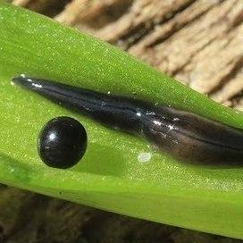 Plathelminthe terrestre invasif : Parakontikia ventrolineata, le vrai nom de Kontikia ventrolineata | EntomoScience | Scoop.it