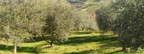 Olive pruning in Le Marche | Le Marche another Italy | Scoop.it