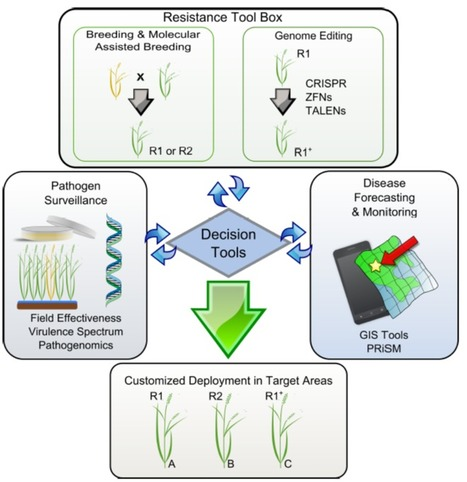Front. Plant Sci.: Decision tools for bacterial blight resistance gene deployment in rice-based agricultural ecosystems (2015) | Effectors and Plant Immunity | Scoop.it