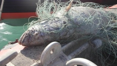 'Aquatic cocaine': Fish bladders are latest Mexican smuggling commodity   Aquaculture Directory   Scoop.it