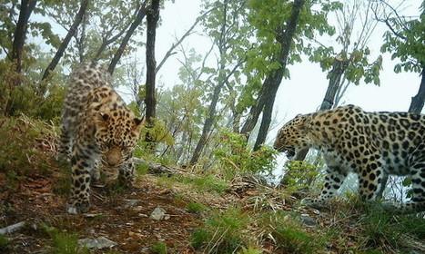 Amur Leopard Population Booms—to 57 | Naturalist Education | Scoop.it