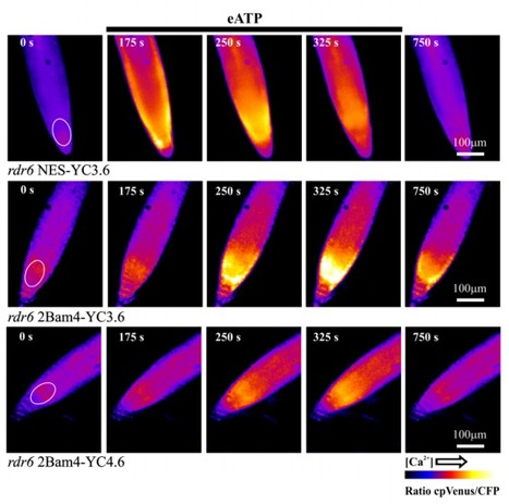 Chloroplast-specific in vivo Ca2+ imaging using Yellow Cameleon fluorescent protein sensors reveals organelle-autonomous Ca2+ signatures in the stroma | Extracellular ATP and ectoapyrase in plants | Scoop.it