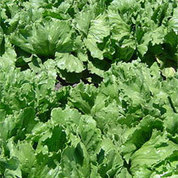 Cold Weather Damaging AZ Winter Lettuce Crop | KMXP (Radio-Phoenix) | CALS in the News | Scoop.it