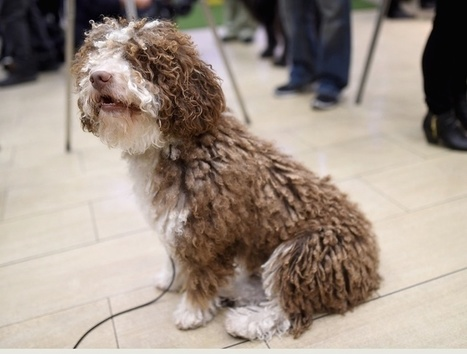 7 new breeds have just become eligible to compete at the Westminster dog show. | enjoy yourself | Scoop.it