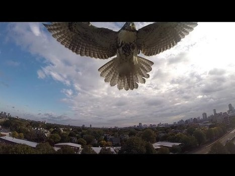 Watch as a Hawk Knocks a Drone Out of the Sky | Culture, Bodies & Technology | Scoop.it