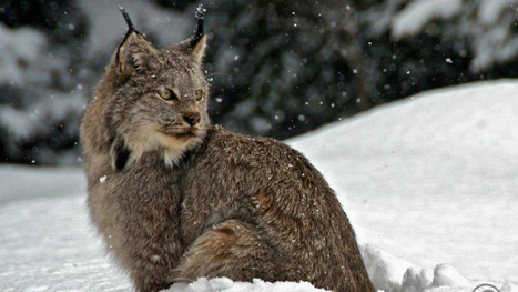 Stunning footage of lynx staring into Banff window - Calgary - CBC News | Exploring the Rocky Mountians | Scoop.it