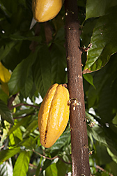 Peruvian Cacao Collection Trip Yields Treasures | AnnBot | Scoop.it