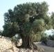 תצפית עץ הזית - העץ ושמן הזית | רעיונות לשיעורים מתוקשבים | Scoop.it