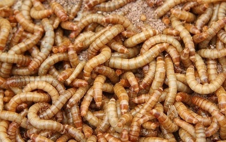 Scientists Propose Mealworms As Protein Source of the Future, Soylent Green Suddenly Not Sounding So Bad | Entomophagy: Edible Insects and the Future of Food | Scoop.it