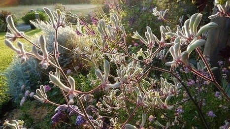 Gardening: kangaroo paw, our fuzzy furry friends | Australian Plants on the Web | Scoop.it