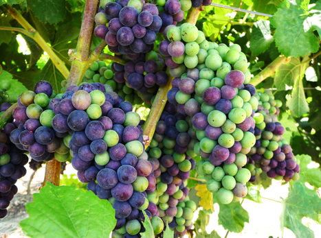 Climate Change Has Calif. Vintners Rethinking Grapes : NPR | Climate change challenges | Scoop.it