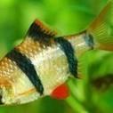 Barb Fish Diseases | Pets Health | Scoop.it