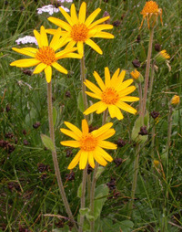Arnica Montana - All you need to know | homeopathy | Scoop.it
