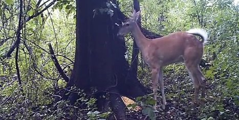 WATCH: This Deer Thought No One Was Watching It Fart, Now The Whole World Knows | Productivity Backwash | Scoop.it