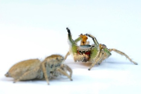 Les araignées sauteuses voient plus de couleurs que l'humain | EntomoNews | Scoop.it