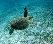 Featured news - Legal harvest of marine turtles tops 42,000 each year - University of Exeter | Marine Science and Conservation | Scoop.it