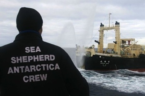 #SeaShepherd to support #Australia in ICJ #case against Japan's #whaling - The Japan Daily Press | Rescue our Ocean's & it's species from Man's Pollution! | Scoop.it