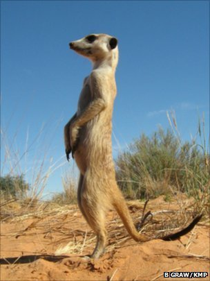 Meerkats recognise others' voices | A World of Sound | Scoop.it