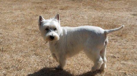 Tweet from @dailywestie | West Highland White Terrier | Scoop.it