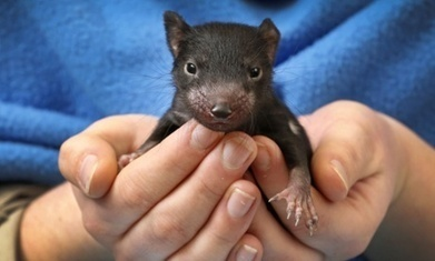 Tasmanian devils to be released back on to mainland   Devil Facial Tumour Disease   Scoop.it