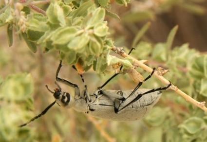 Blister Beetle: Epicauta longicollis   What's That Bug? (Blog)   CALS in the News   Scoop.it