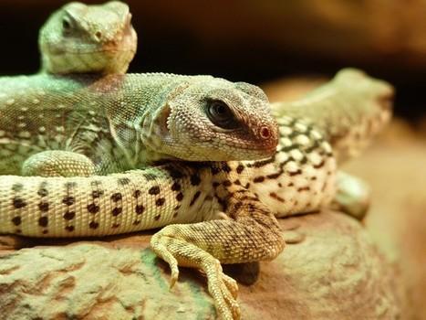 Photos de reptiles: Iguane du désert - Dipsosaurus dorsalis | Fauna Free Pics - Public Domain - Photos gratuites d'animaux | Scoop.it
