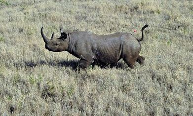 Rhino horn trafficking surging out of control, say campaigners | LOVE YOUR ANIMALS AND SAVE WILDLIFE | Scoop.it
