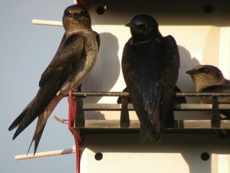 Purple martins call Hutto home   Mary Ann's Nature Articles from The Hutto News   Scoop.it