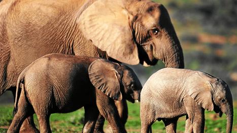 Poachers use cyanide to kill 41 elephants in Zimbabwe | Wildlife Trafficking: Who Does it? Allows it? | Scoop.it