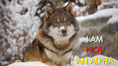 Why everything you know about wolf packs is wrong | Zoology | Scoop.it