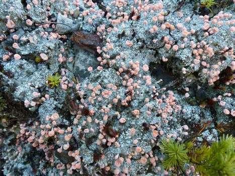 Photo de lichen : Dibaeis baeomyces - Baeomyces roseus - Lichen baeomyces | Faaxaal Forum Photos gratuite Faune et Flore | Scoop.it