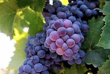 Pourquoi le vin rouge est-il rouge et le vin blanc … blanc ? - Magazine du vin - Mon Vigneron | Actualités du Vin | Scoop.it